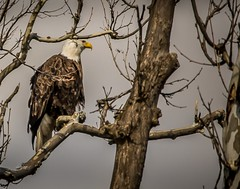 Guardian on the Grand . . . (Dr. Farnsworth) Tags: bird large baldeagle adult white head tail americansycamore tree grandriverjenisonmimichiganspringapril 2018