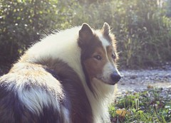 Ben Hates The Camera (~ Liberty Images) Tags: ben benedict collie dog canine pet buddy sable roughcollie