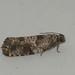 Gypsonoma oppressana - Poplar bud-worm