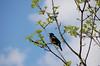 DSC_09951 (hollyzade) Tags: nikond40 nikon animal animals nature ontario canada bird tree blackbird redwinged sky cool singing beak tail