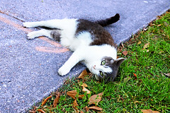 Mew Orleans (kirstiecat) Tags: cat feline chat meow purr caturday streetcat color colour canon meworleans neworleans gato kitty