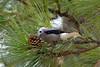 Nutcracker Eating Cone Seeds (Gary O'Dell (sagebrushphotography)) Tags: bird pines pinecones nutcracker lewisnutcracker