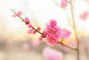 Plum blossoms at dusk (稲垣一志) Tags: 梅 紅梅 梅の花 花 アップ 夕暮れ 春 早春 蘇原自然公園 各務原市 岐阜県 日本 japaneseplum redplumblossoms umeblossom flower upshot evening spring earlyspring kakamigahracity gifupref japan