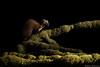 Pine marten (Mike Mckenzie8) Tags: martes britain uk scotland highland wild wildlife mammal nocturnal forest moss spring