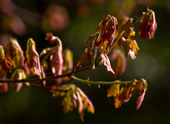 IMG_0036 Morning Oak (oldimageshoppe) Tags: leaves oak new morningsun spring