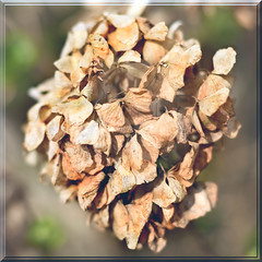 Hydrangea 1 (linda.addis) Tags: 7dwf filltheframe crazytuesdaytheme