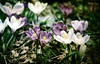 Start of flower season (threepinner) Tags: f64d cinema flower flowers mikasa hokkaidou hokkaido northernjapan japan spring canon av1 sigma macro 90mm f56 negative selfdeveloped cine