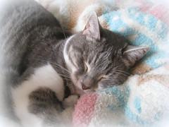 Sleepy Girl (Eclectic Jack) Tags: cat sleepy sleep blanket peaceful calm nap time