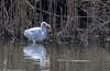 9Q6A9905 (2) (Alinbidford) Tags: alancurtis alinbidford brandonmarsh greatwhiteegret nature wildbirds wildlife
