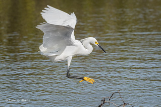 Snowy Egret - Landing zone identified 500_5749.jpg