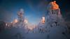 Hot tops (Björn Knif) Tags: winter sunset pyhäluosto lapland suomi finland landscape kansallispuisto nationalpark