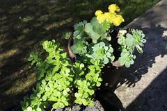 aeonium dodrantale & spathulatum (S.Mt) Tags: aeonium spathulatum dodrantale fleur flower jaune yellow succulents plantes grasses plant printemps greenovia