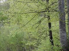 DSCN4569 (keepps) Tags: switzerland suisse schweiz fribourg préalpesfribourgeoises spring montbovon tree