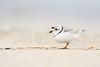 Piping Plover (adbecks) Tags: piping plover wildlife nj nikon d500 200500 beach boken low pov