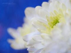 Serenity (Karsten Gieselmann) Tags: 60mmf28 blau bokeh dof em5markii mzuiko microfourthirds olympus schärfentiefe textur weis blue kgiesel m43 mft texture white burglengenfeld bayern deutschland chrysantheme chrysanthemum