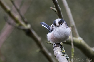 Long Tailed Tit-8654