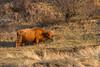 ©Mark Kras-Schotse Hooglander-IMG_2264.jpg (markkras-fotografie) Tags: zoogdieren schotsehooglander vee fauna bostaurus highlandcow nederland nl
