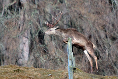 Leaping Monarch oh the Glen (blootoonloon1( No to Badger Cull)) Tags: stag reddeer animal wildlife nature highlands scotland colours motion movement jumping