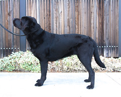 Norwina side (Guide Dogs for the Blind) Tags: breeder brood