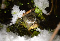 Snow stopping 'em - Common frogs in amplexus (willjatkins) Tags: frog frogs frogsspawning frogspawn coldweather winter springwildlife spring snow wildlifeinsnow hardywildlife commonfrog ranatemporaria rana amphibians amphibian europeanwildlife europeanamphibians ukwildlife ukreptilesandamphibians ukamphibiansandreptiles ukamphibians britishwildlife britishamphibiansandreptiles britishreptilesandamphibians britishamphibians hertfordshirewildlife hertfordshireamphibians gardenwildlife gardenponds urbanwildlife nikond7100