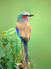 Mara Lilac Breasted Roller (Sébastien Mamy) Tags: wildlife africa animal lilacbreastedroller nature sebastienmamyfr oiseau bird green vert colors couleurs rollier longue queue afrique kenya massaimara maratriangle vertical portrait