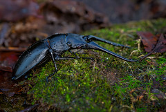 The Mountain (Kathy Macpherson Baca) Tags: animals insects insect beetle stag forest nature world wildlife shell invertebrate planet earth ground leaves scavenger black