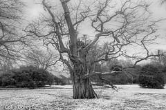 untitled-19032018-10.jpg (Colin Dorey) Tags: locustree kew kewgardens bw monochrome blackwhite blackandwhite tree botanic gardens richmond surrey uk london park garden snow march 2018