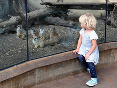 Day at the zoo. (Bernard Spragg) Tags: zoo animals littlegirl child glass cage meerkats lumix kids young explorenaturethewildnature