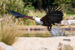 African Fish Eagle (Click U) Tags: african fish eagle