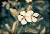 These flowers kept it together. (roanfourie) Tags: nikon d3400 nikkor 35mm f18 dx dslr flickr flick southafrica africa randfontein photography raw gimp day outdoors january102018 january 2018 macro plant plants flower flowers garden nature naturephotography floraofsouthafrica splittone art