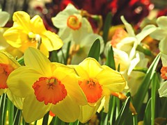 3130ex2  Welcome spring! (jjjj56cp) Tags: daffodils daffs yellow cheery sunny bright vivid colors colorful flowers blossoms blooms spring springflowers orange green 2018flowershow krohnconservatory edenpark cincinnati oh ohio p900 jennypansing closeup