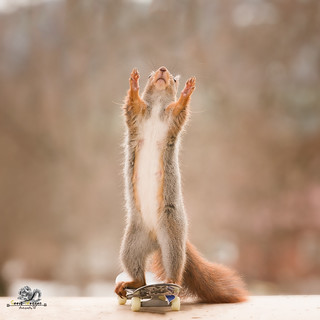 red squirrel is standing on a Skateboard