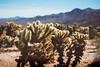 Cholla Cactus (Bosox_bs5) Tags: desert cactus cholla canon vintage joshuatree barren explore beauty filter california