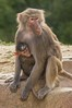 Mama Baboon with Baby Hanging On (The_Speedy_Butterfly) Tags: sandiego california unitedstates us monkey baboon
