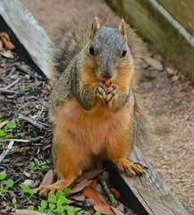 Fox squirrel (Sciurus niger) having lunch... (elnina999) Tags: nikond7100 houston tx squirrel nature outdoors park mcgovern centennial animals foxsquirrel sciurusniger food animalfool eating posing closeup adorable cute furry funny color detail fluffy hungry mammal red tail wild