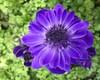 Anemone (doroeschen) Tags: blau blüte blumen frühling