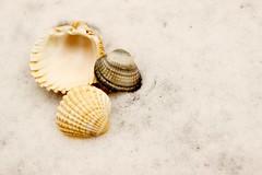 Muscheln im Schnee - oder Winter es ist Zeit zu gehen (2/2) (Hipij) Tags: winter frühling muschel schnee spring printemps shell coquillages hiver neige snow