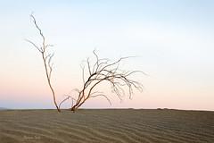 Solitary Stand (Ramen Saha) Tags: deathvalley deathvalleynationalpark sand dunes mesquitesanddunes mesquiteflatsanddunes stovepipewells california driedtree beltofvenus antitwilightarch ramensaha