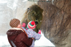 Hmmm snacks (dpsager) Tags: chicago dpsagerphotography lincolnparkzoo lion zoo
