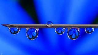Mini Blue Flowers in droplets