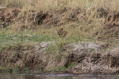 Lioness Rests on the River Bank (robsall) Tags: 2016 500mm 7dmark2 7dmarkii 7dm2 7dmii africa africatourism africawildlifephotography africanwildlife big bigcat bigcats canon canon500mmf4lisiiusm canon500mmf4 canon500mmf4lii canon500mmf4ii canon7dmark2 canon7dmarkii canon7d2 canon7dm2 canoneos canoneos7dmark2 canoneos7dm2 carnivore cat endangered family feline largefelines lion lioness lions mammal pantheraleo predator robsallaeiral robsalldrone robsalldronephotography robsallphotography robsallwildlifephotography tanzania tanzania2016 vacation vulnerable manyararegion