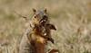 Squirrel, Morton Arboretum. 422 (EOS) (Mega-Magpie) Tags: canon eos 60d nature outdoors wildlife squirrel eat leaf cute the morton arboretum lisle il illinois dupage usa america