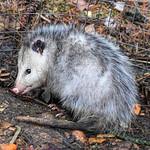 Playing 'Possum! thumbnail
