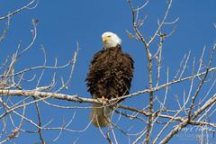 Bald Eagle shakes it up