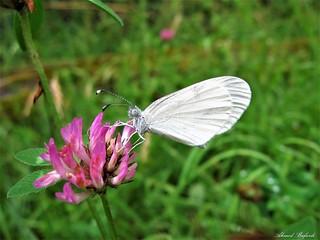 Butterfly 1633