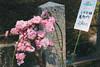 城南宮|京都 (KaguraYanki) Tags: canon650d 京都 城南宮 梅花 梅花雨 梅林 枝垂梅 しだれ梅 椿まつり 源氏物語 花之庭 花見 山茶花 kyoto japan photography