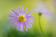 brachyscome 3130 (junjiaoyama) Tags: japan flower plant pink brachyscome spring