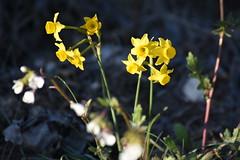 Narcissus assoanus (esta_ahi) Tags: larboçar flor flora flores silvestres penedès barcelona spain españa испания narcissus assoanus narcissusassoanus narcís narciso yellow amaryllidaceae