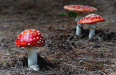 Amanita muscaria,  (fly agaric) (Bernard Spragg) Tags: amanitamuscaria flyagaric mushroom red nature lumix forestfloor toadstool redandwhite naturelover explorenaturethewildnature lumixfz1000