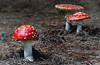 Amanita muscaria,  (fly agaric) (Bernard Spragg) Tags: amanitamuscaria flyagaric mushroom red nature lumix forestfloor toadstool redandwhite naturelover explorenaturethewildnature